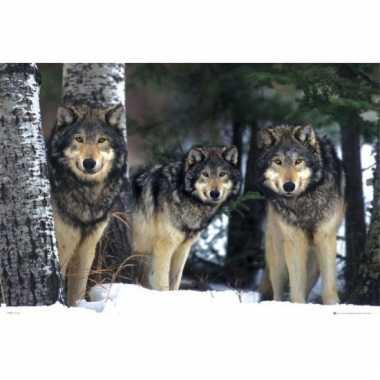Decoratie poster grijze wolven