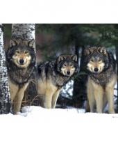 Decoratie poster grijze wolven trend