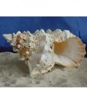 Decoratie schelp 15 cm trend