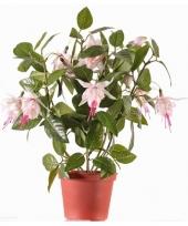 Fuchsia plant roze in pot 30 cm trend