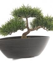 Japanse den nepplant 26 cm trend