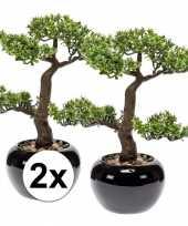 Pilea bonsai nepplant 34 cm 2 stuks trend