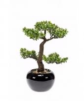 Pilea bonsai nepplant 34 cm trend