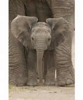 Poster baby olifant 91 x 61 cm trend